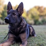 Major Bloodlines Of The German Shepherd Dog Dog Trainer College