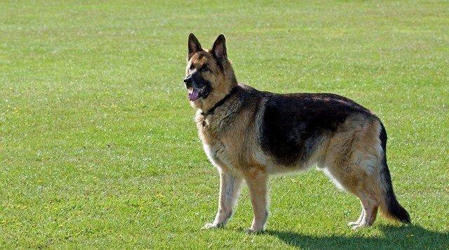 alsatian wolf dogs aka german shepherd dogs