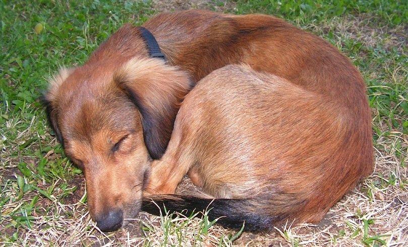 dog sleeping in a ball