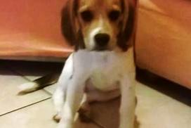 Beagle Kira