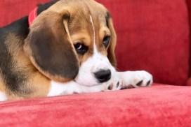 Beagle Leo