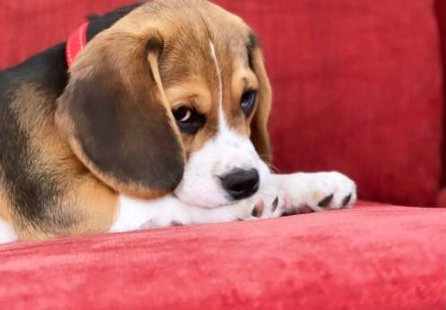 Leo Beagle2