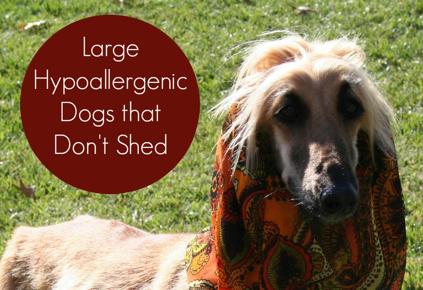Large Hypoallergenic Dogs that Don't Shed - Dog Vills