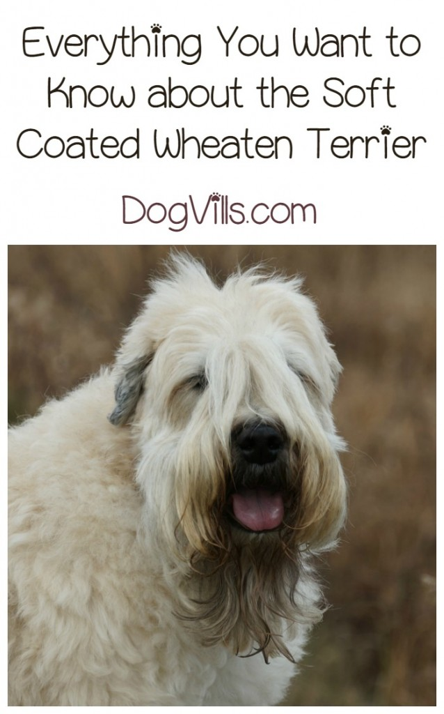 Soft Coated Wheaten Terrier A Hypoallergenic Dog Breed