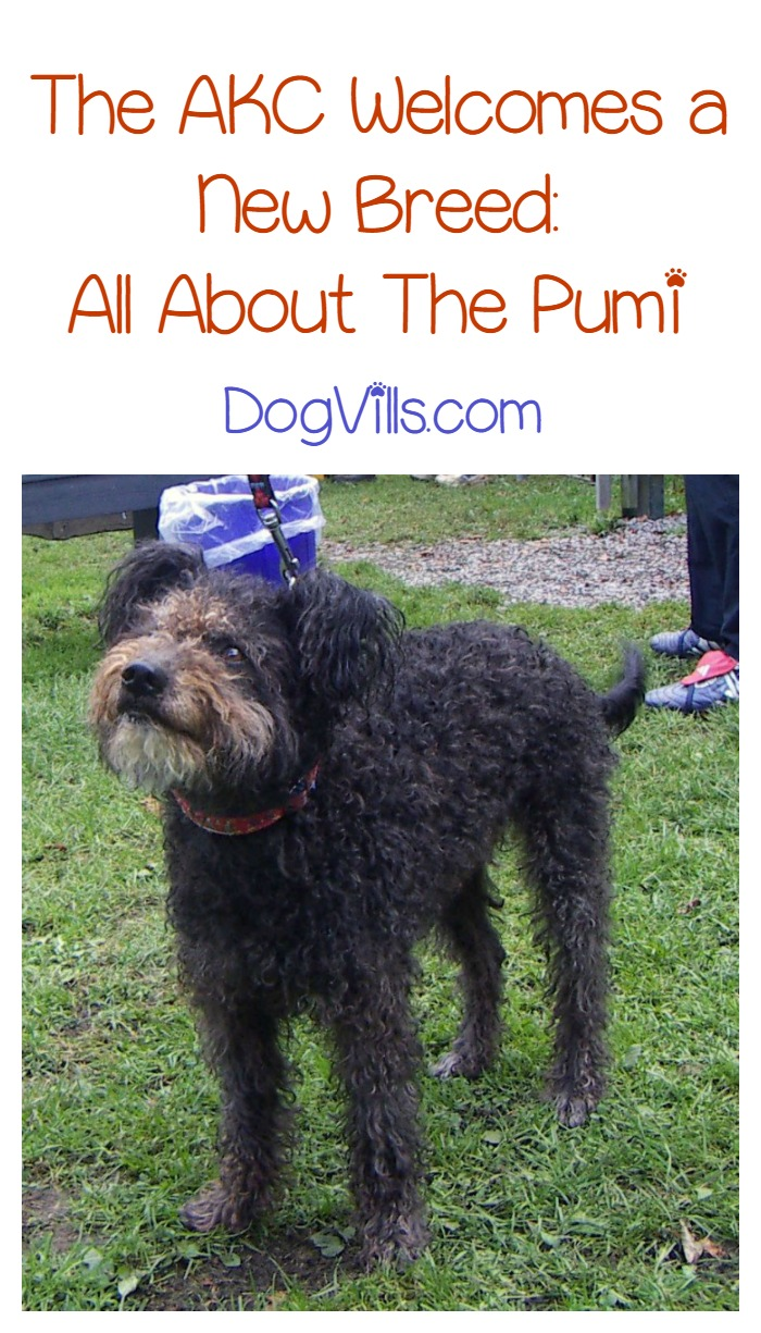 Introducing The Pumi The Akc S Newest Recognized Dog Breed