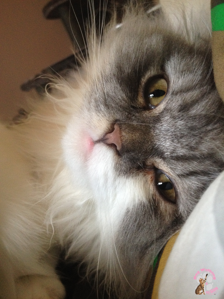 main coon pet sitter