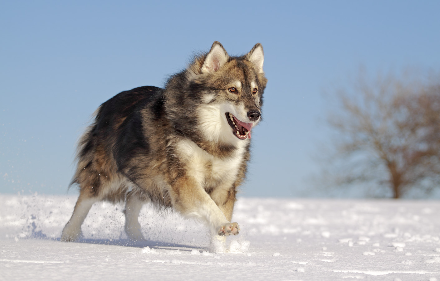 Dog That Looks Like A Wolf Breed