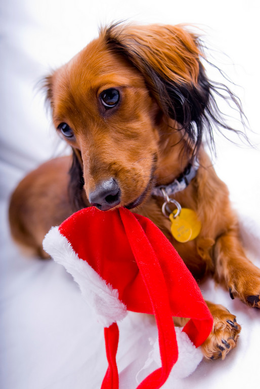 Dachshund And Christmas Cap Photo And Wallpaper Beautiful