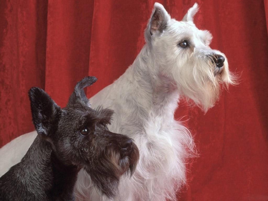 artikel terkait giant schnauzer dog