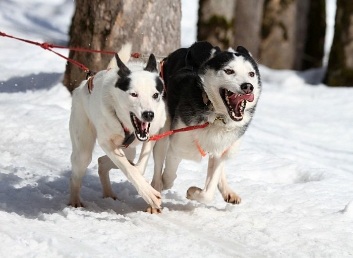 Best Dog Harness for Pulling Sled