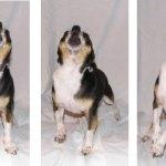 Rocco Jet barking