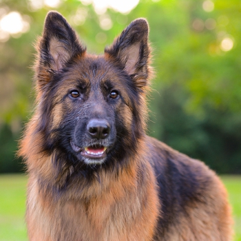 Image result for german shepherd