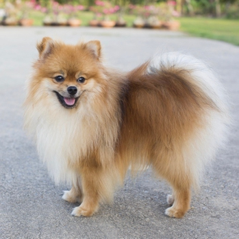 Image result for image of a pomeranian