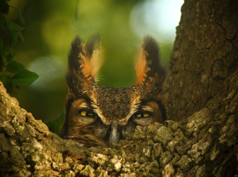 A great horned owl pokes its head above a branch, scowling.