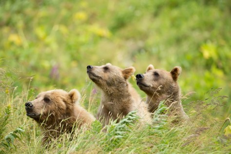 Three brown bear cubs sit in a line in tall grass and sniff the air.