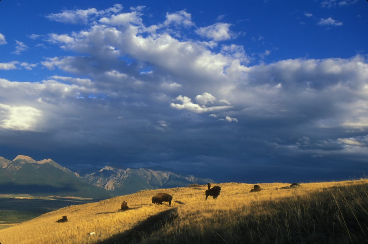A small herd of bison standing on a grassy hill with mountains behind them.