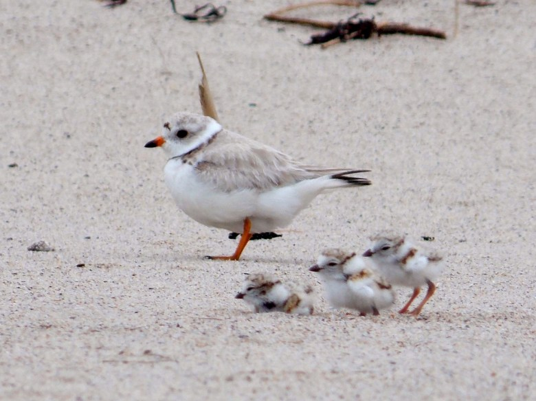 One adult and three baby piping plovers stand on the beach. Their light gray feathers look very fluffy.