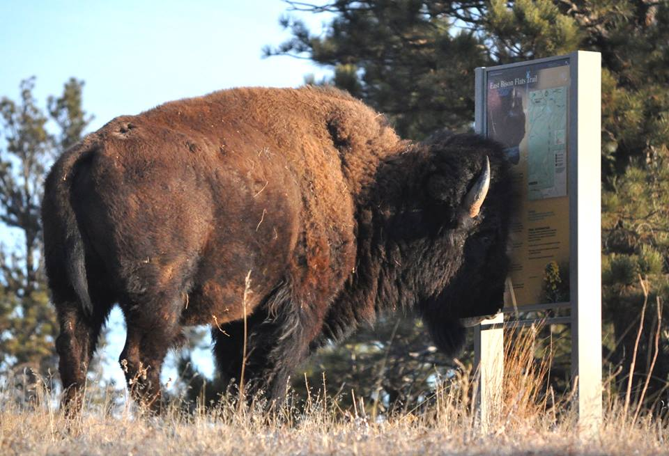A bison standing in front of a park information sign.