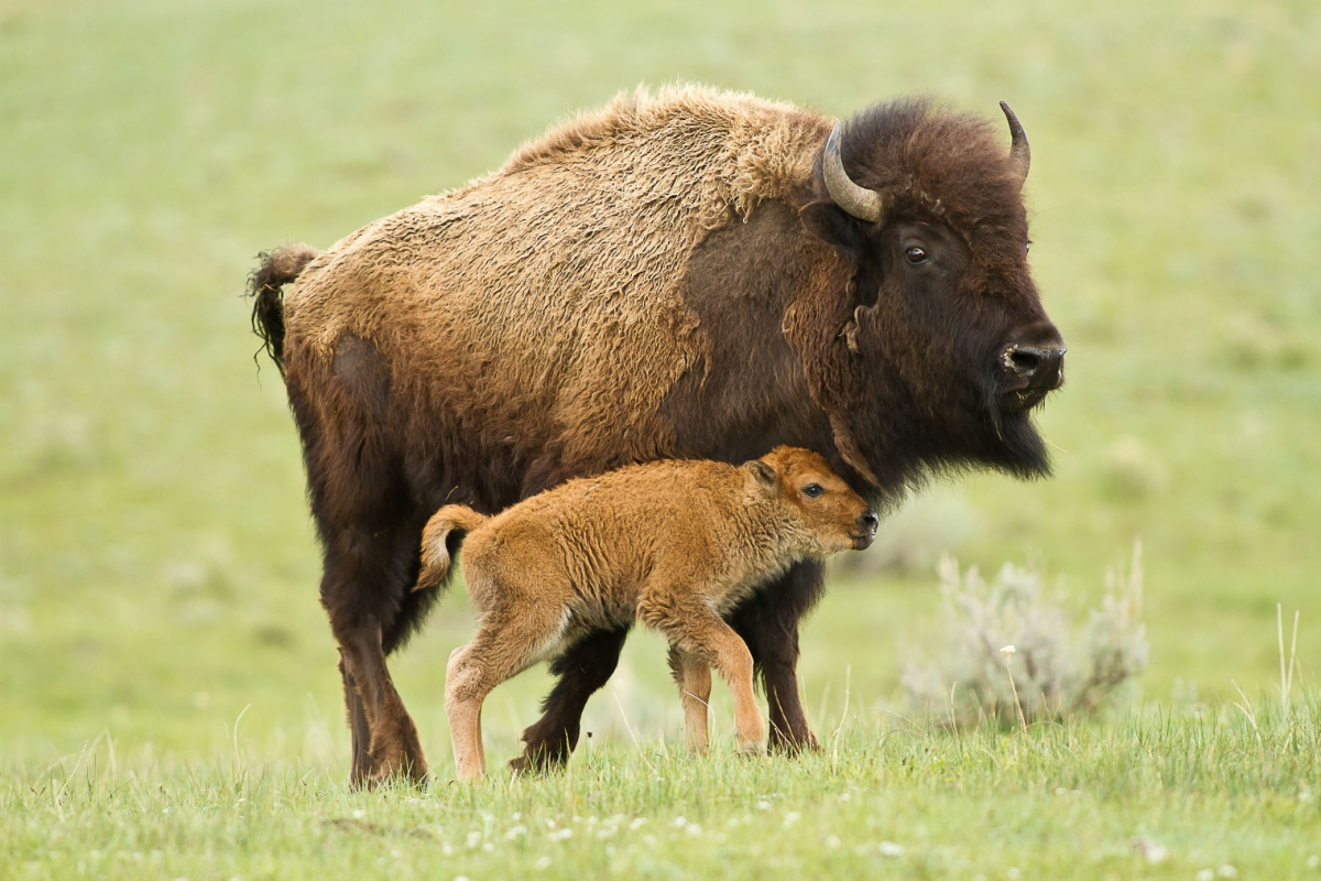 A bison watching over a calf.