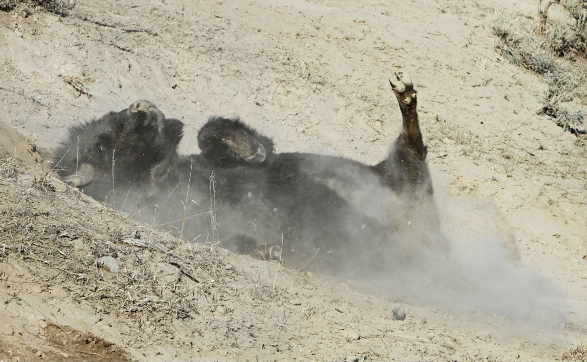 A bison rolling in the dirt.
