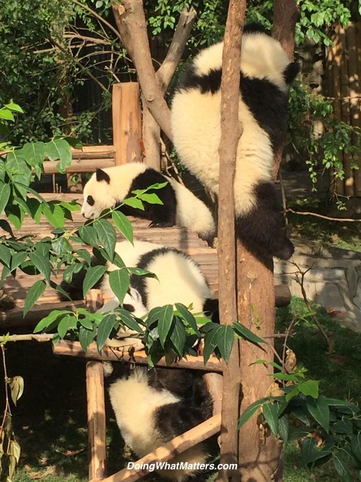 Chubby panda babies playing.