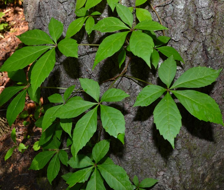 Image Result For Does Ginseng Grow Wild In The Uk