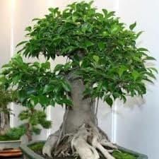 Come Curare Il Bonsai Ginseng Dojo Garden