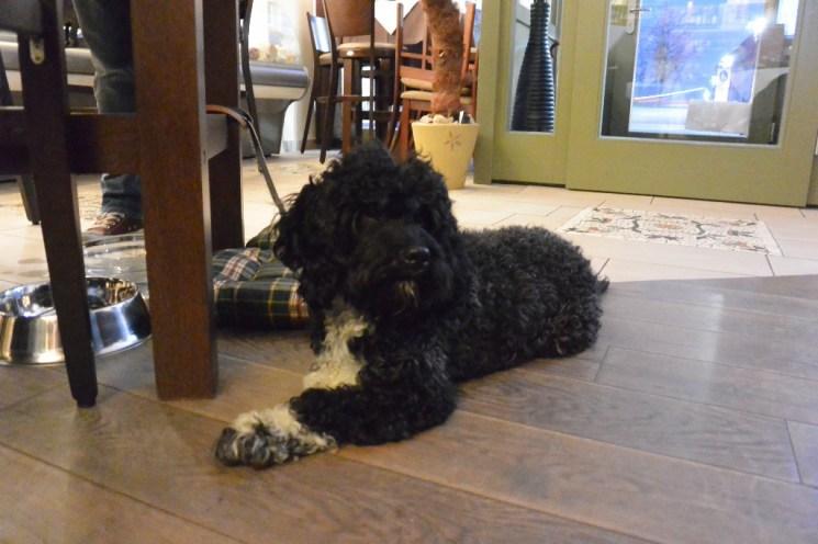 Trüffelhund Ricciolo wartet auf seinen Einsatz