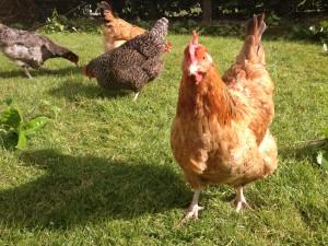 Doles Ash Farmhouse Facilities, Hen