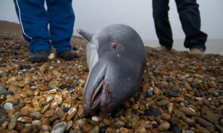 Dead porpoise