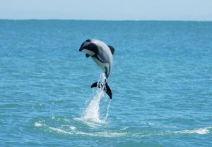 maui_dolphin_leaping_684