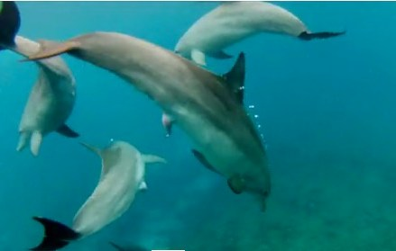 Dolphin study suggests marine mammals may experience sexual pleasure