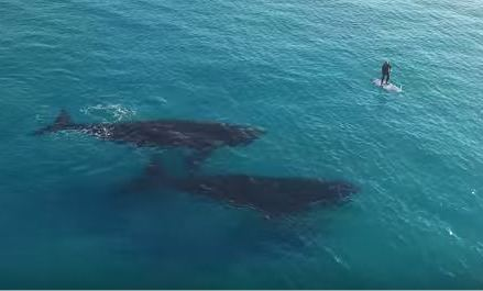 Cool Drone Footage of Paddle Boarding with Whales