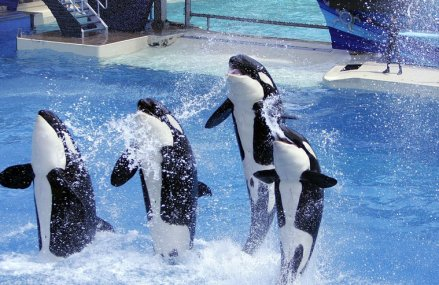 SeaWorld to end killer whale shows in wake of mounting protests