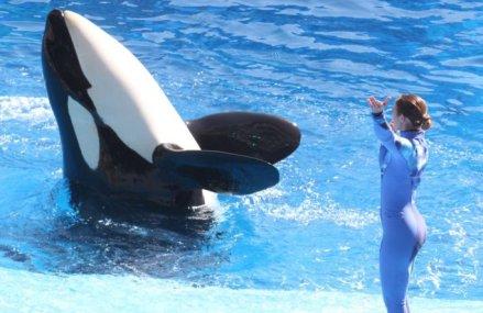 Killer whale at center of 'Blackfish' dies