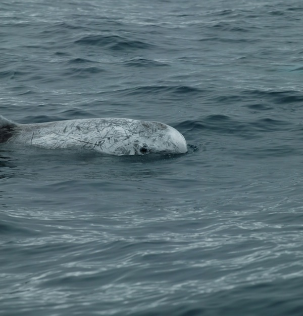 Interesting information about Risso's dolphin