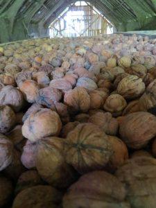 Récolte de noix 2015 : pour les gateaux mais aussi pour le fromage de chèvre chaud, les salades, l'apéro...