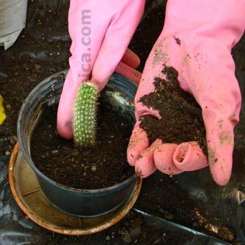 kako posaditi kaktus izdankom