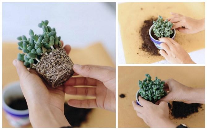 kako presaditi kaktus