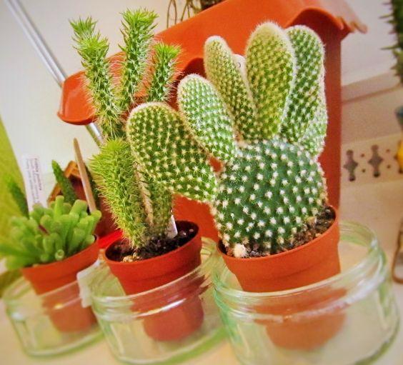 kaktus zecje usi