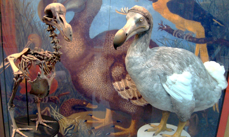 A dodo (CC BY 2.0 by a Wikimedia user)