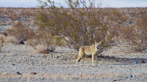 Wild Coyote - Death Valley National Park