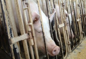 Pigs are a source of livestock air pollution