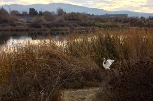 An egret takes wing by one of the percolation ponds.