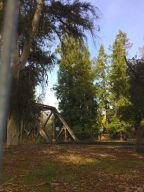 """Here is the trestle viewed from El Camino Real. The tall tree in the middle is """"El Palo Alto""""."""