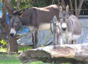 The donkeys at Barron Park.