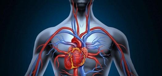 Risultati immagini per sistema circolatorio