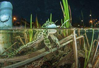 Neue Laichgewässer für das seltene Amphibium