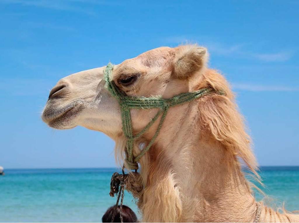 Paseo en camello por playas de México