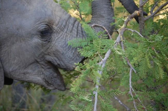 Cría de Elefante alimentándose
